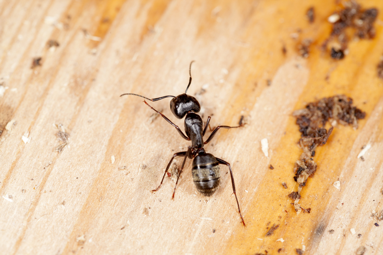 A close up of a carpenter ant crawling on wood. : carpenter ants in attic  - Aeropaca.Org